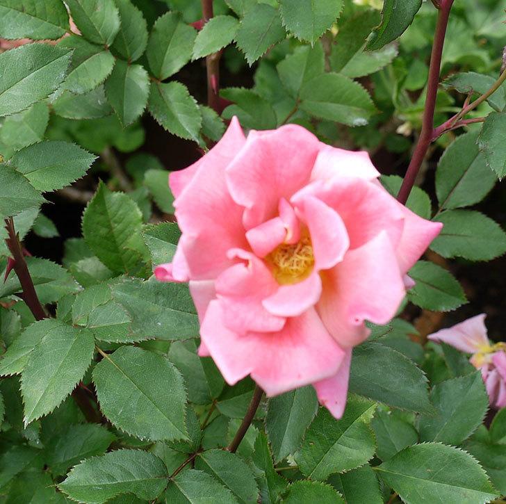 チョコフィオーレ(ミニバラ)の花がピンクになってたくさん咲いた。2017年-2.jpg