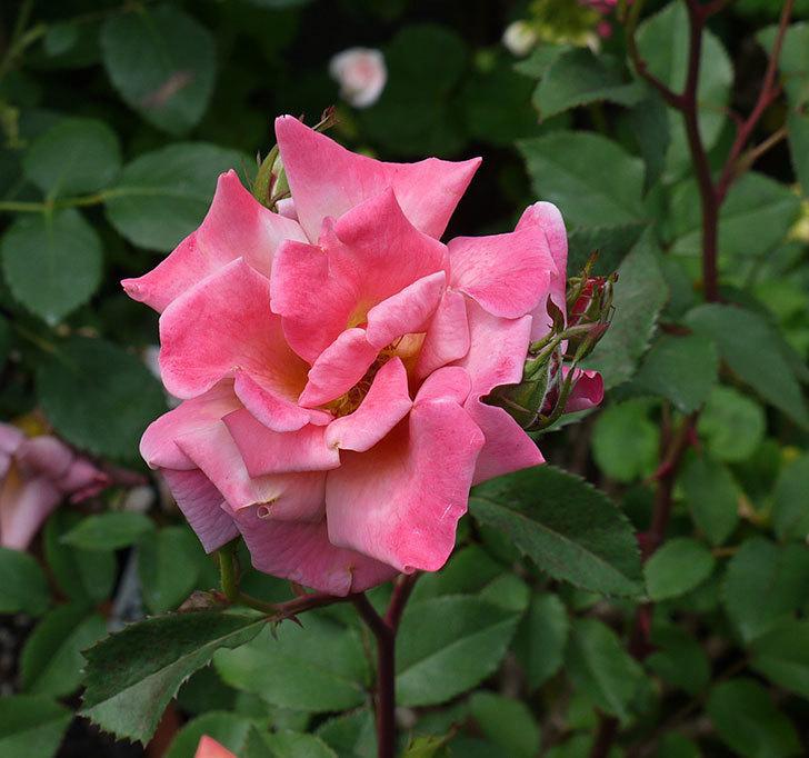 チョコフィオーレ(ミニバラ)の花がピンクになってたくさん咲いた。2017年-3.jpg