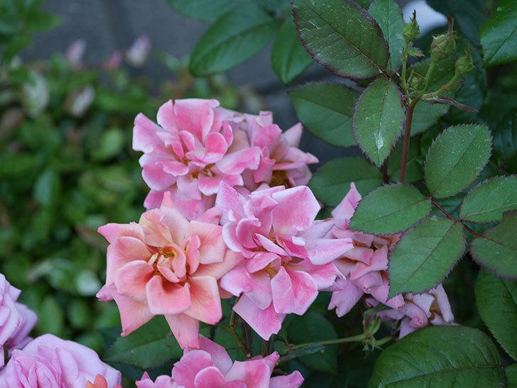 チョコフィオーレ(ミニバラ)の花がピンクに変わって来た。2019年-1.jpg