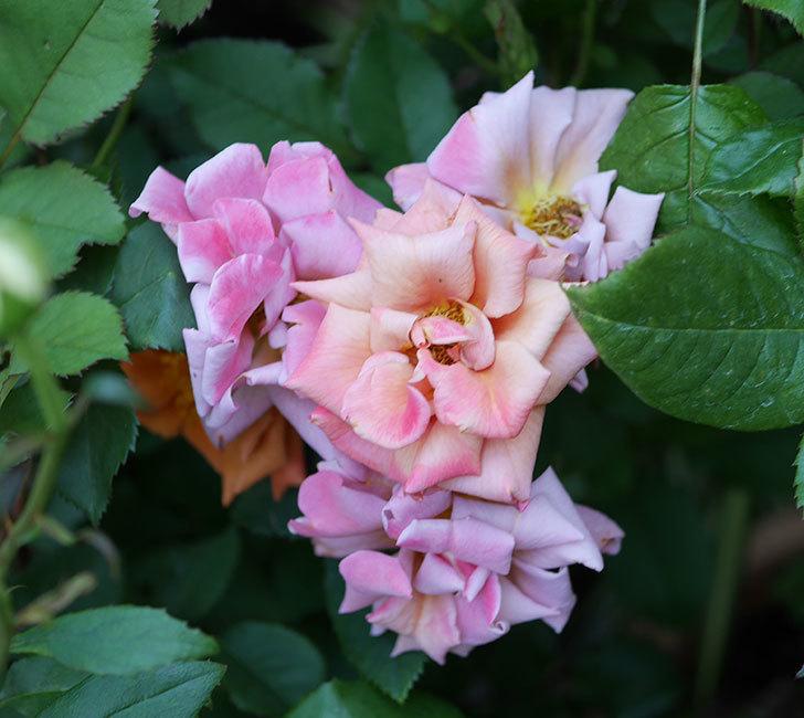 チョコフィオーレ(ミニバラ)の花がピンクに変わって来た。2019年-2.jpg