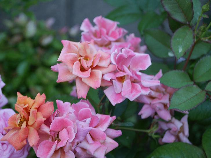 チョコフィオーレ(ミニバラ)の花がピンクに変わって来た。2019年-3.jpg