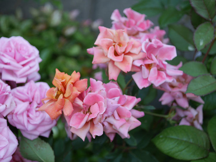 チョコフィオーレ(ミニバラ)の花がピンクに変わって来た。2019年-4.jpg
