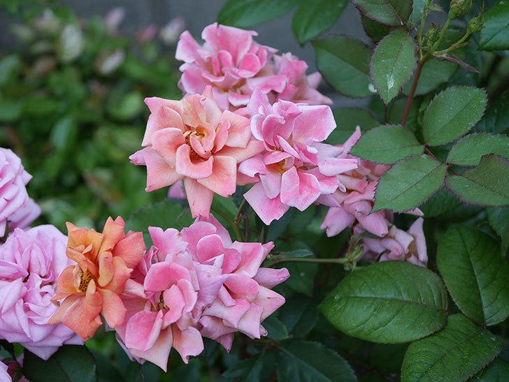 チョコフィオーレ(ミニバラ)の花がピンクに変わって来た。2019年-5.jpg