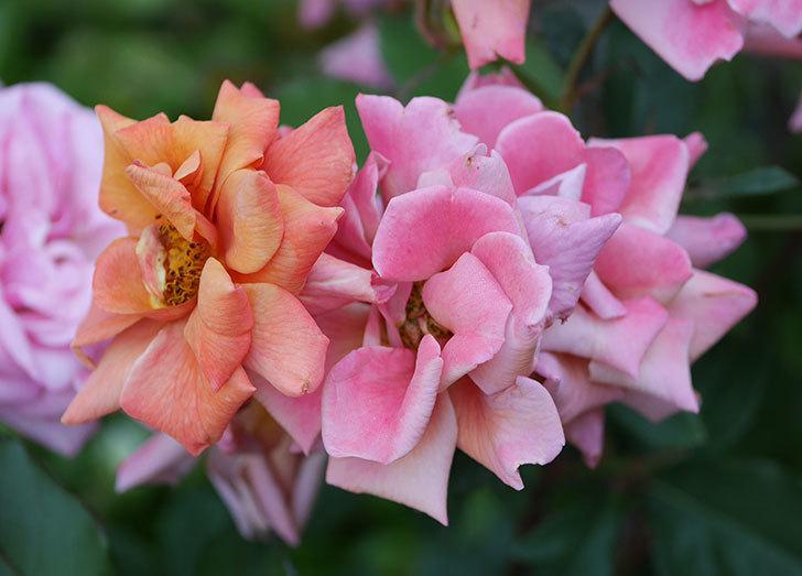 チョコフィオーレ(ミニバラ)の花がピンクに変わって来た。2019年-6.jpg