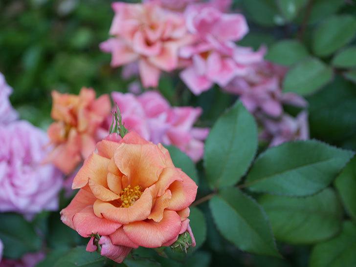 チョコフィオーレ(ミニバラ)の花がピンクに変わって来た。2019年-7.jpg
