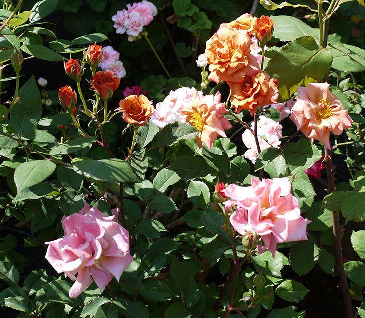 チョコフィオーレ(ミニバラ)の花が一気に咲いた。2017年-1.jpg
