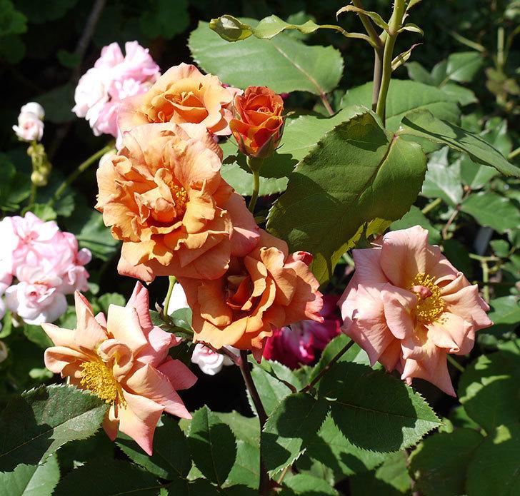 チョコフィオーレ(ミニバラ)の花が一気に咲いた。2017年-2.jpg