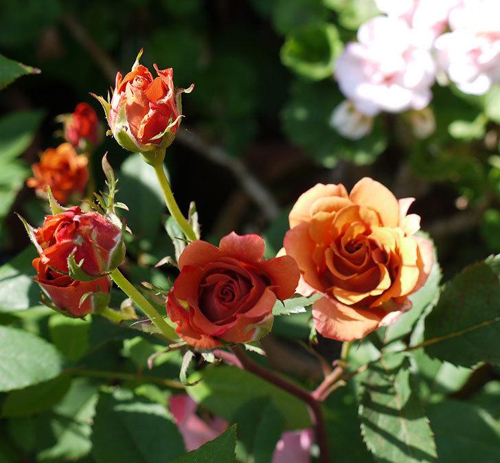 チョコフィオーレ(ミニバラ)の花が一気に咲いた。2017年-3.jpg