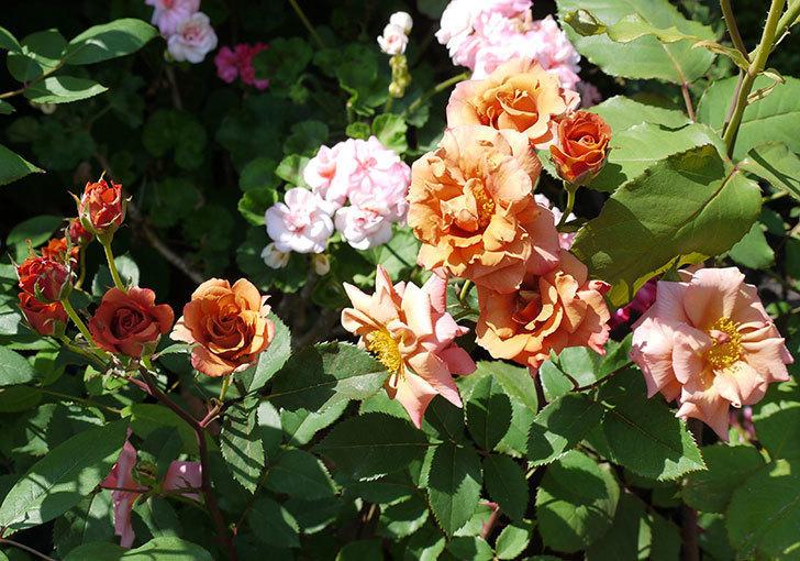 チョコフィオーレ(ミニバラ)の花が一気に咲いた。2017年-4.jpg