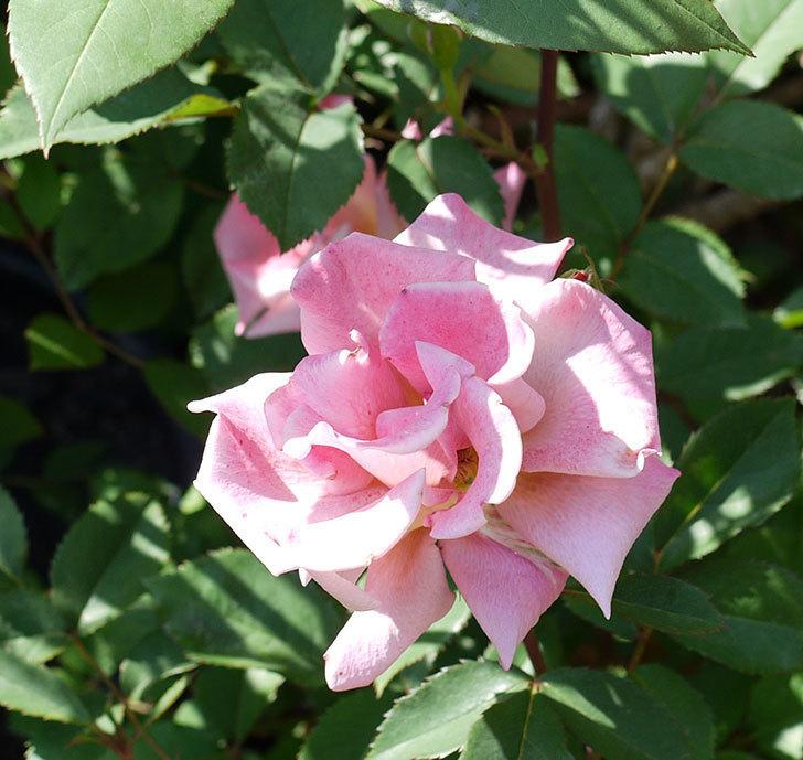 チョコフィオーレ(ミニバラ)の花が一気に咲いた。2017年-5.jpg