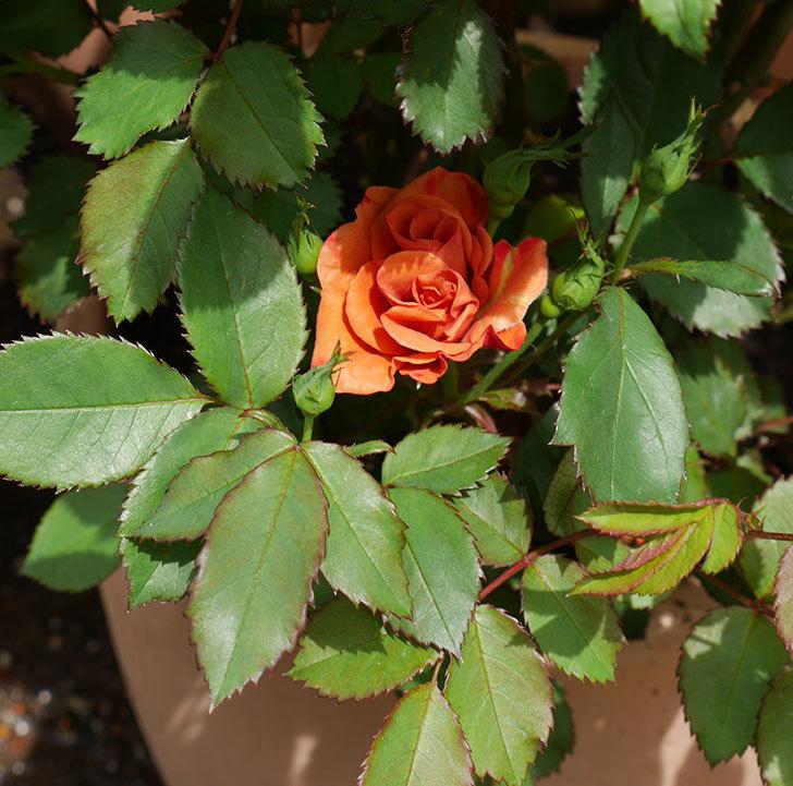 チョコフィオーレ(ミニバラ)の花が咲いた。2018年-5.jpg