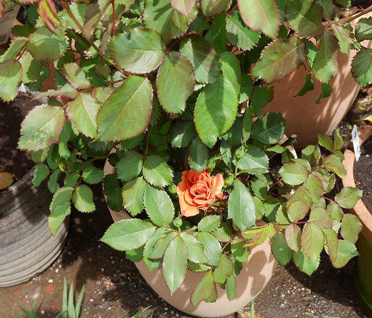 チョコフィオーレ(ミニバラ)の花が咲いた。2018年-6.jpg