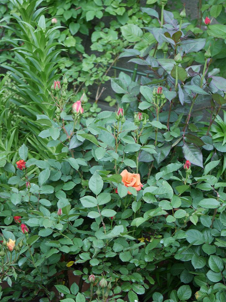 チョコフィオーレ(ミニバラ)の花が咲いた。2020年-5.jpg