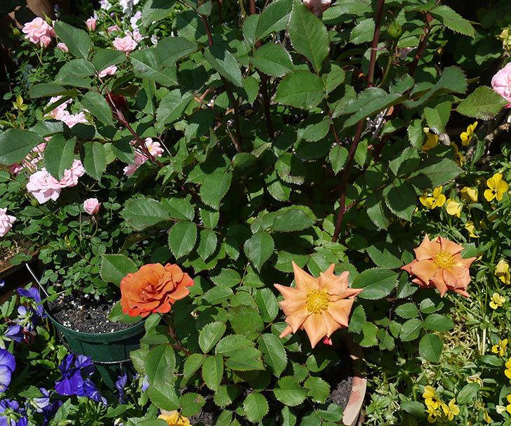 チョコフィオーレ(ミニバラ)の花が咲きだした。2017年-6.jpg