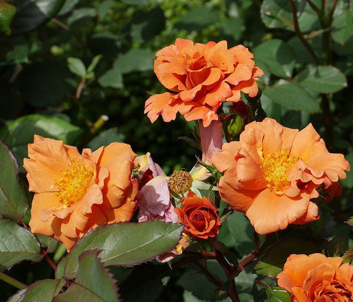 チョコフィオーレ(ミニバラ)の花が増えてきた。2019年-10.jpg