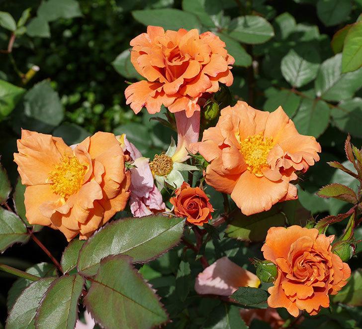 チョコフィオーレ(ミニバラ)の花が増えてきた。2019年-11.jpg