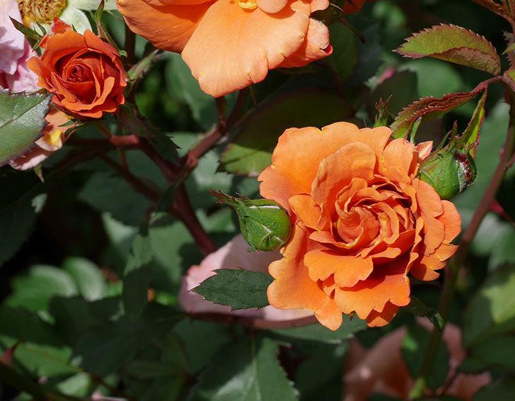チョコフィオーレ(ミニバラ)の花が増えてきた。2019年-12.jpg