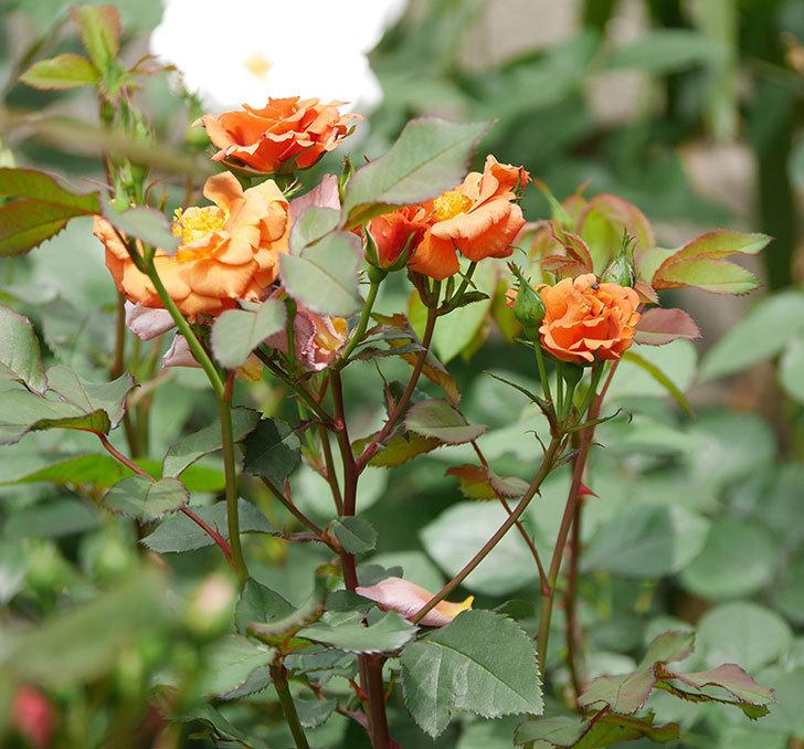 チョコフィオーレ(ミニバラ)の花が増えてきた。2019年-4.jpg