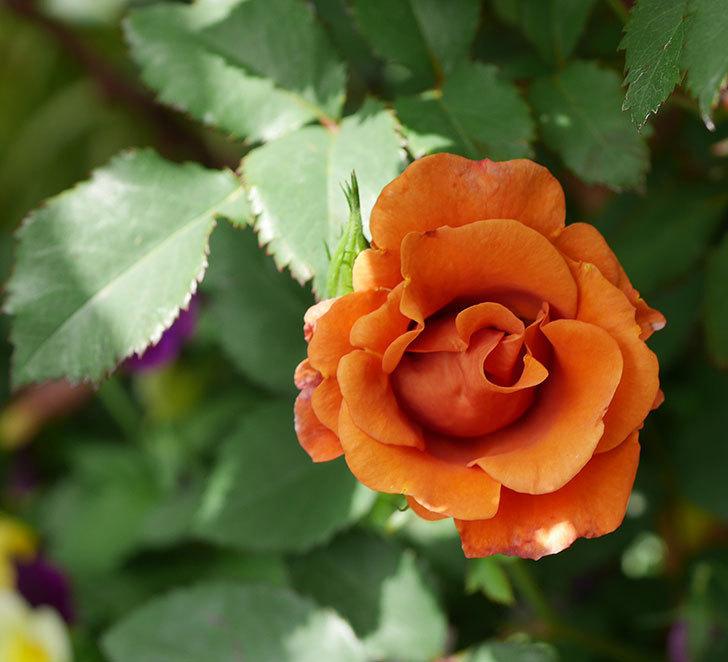 チョコフィオーレ(ミニバラ)の花が増えてきた。2019年-5.jpg