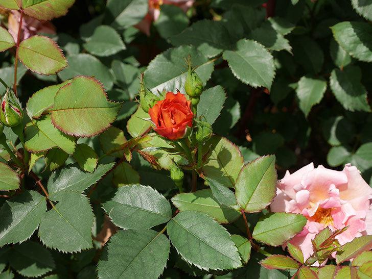 チョコフィオーレ(ミニバラ)の花が増えてきた。2019年-8.jpg
