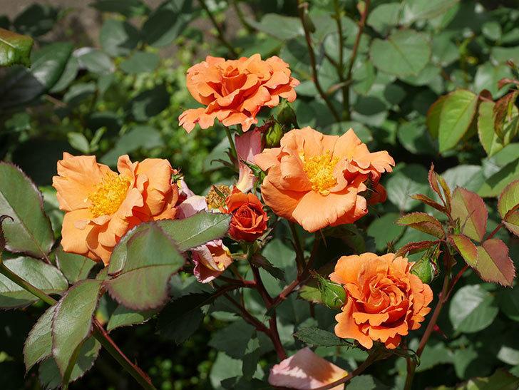 チョコフィオーレ(ミニバラ)の花が増えてきた。2019年-9.jpg