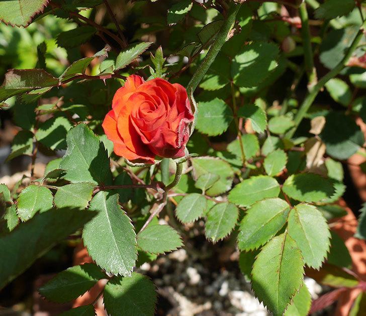 チョコフィオーレ(ミニバラ)の花が少し咲いた。2019年-1.jpg