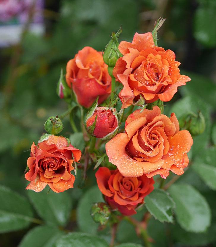 チョコフィオーレ(ミニバラ)の花が房で咲いた。2020年-1.jpg
