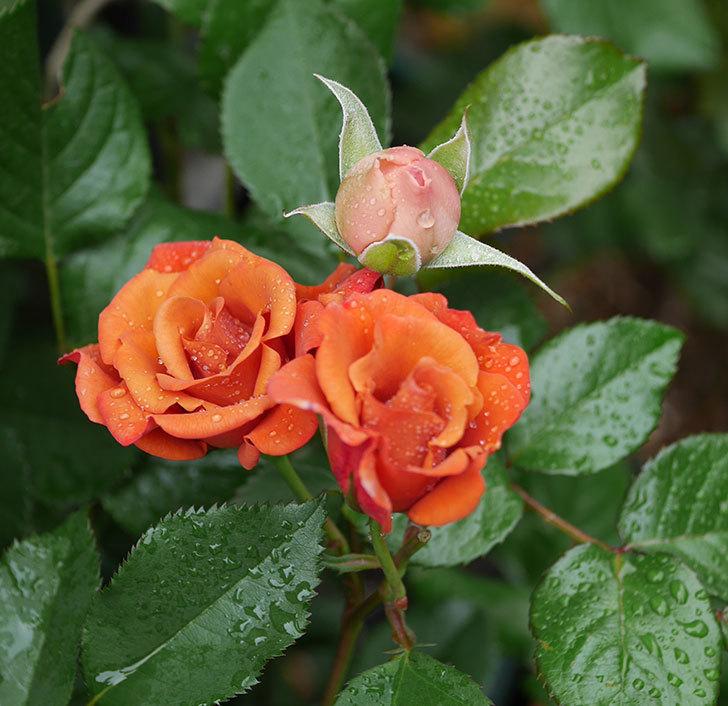 チョコフィオーレ(ミニバラ)の花が房で咲いた。2020年-3.jpg