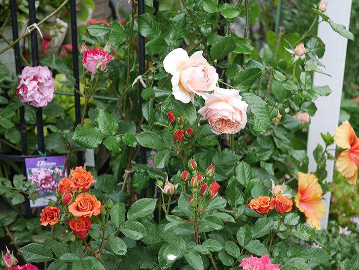 チョコフィオーレ(ミニバラ)の花が房で咲いた。2020年-5.jpg