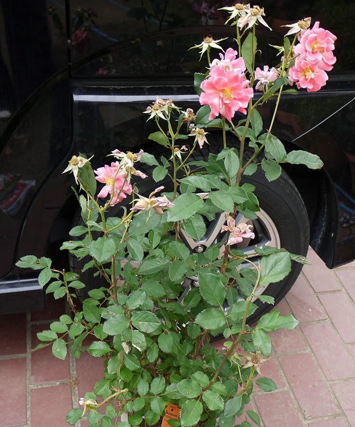 チョコフィオーレ(ミニバラ)の花の終りかけ開花株が1,500円だったので買って来た。2016年-1.jpg
