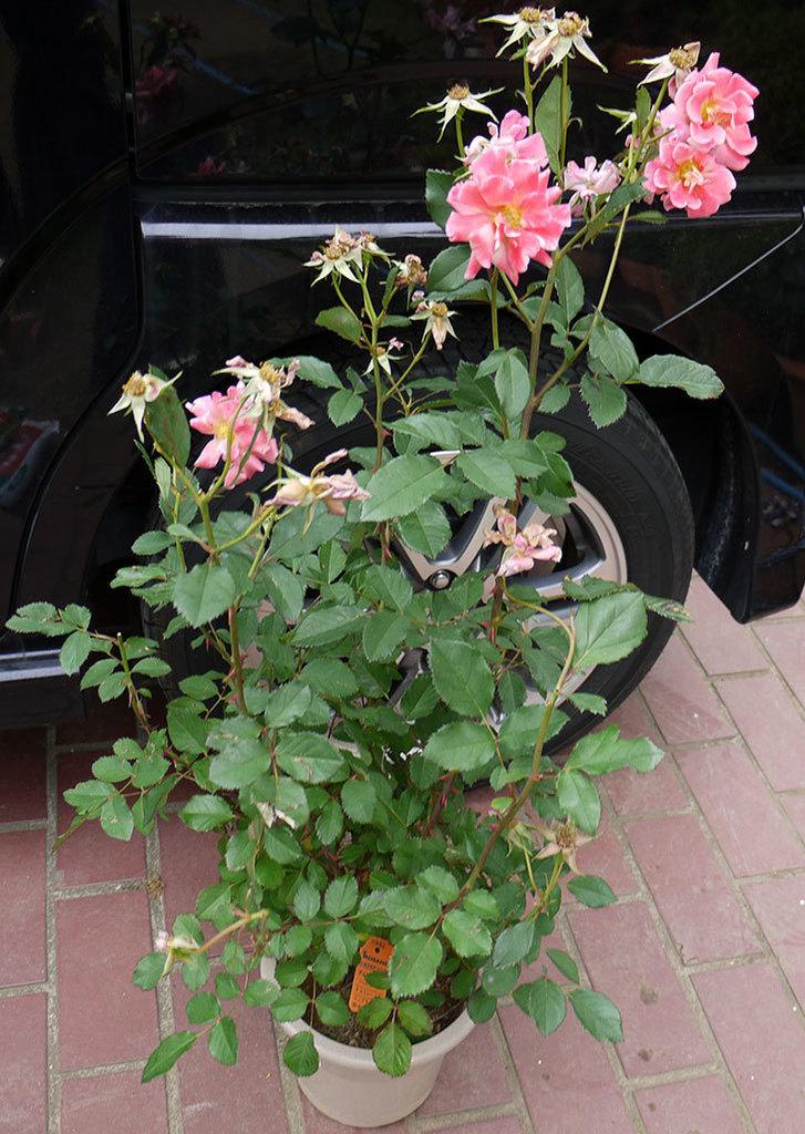 チョコフィオーレ(ミニバラ)の花の終りかけ開花株が1,500円だったので買って来た。2016年-2.jpg