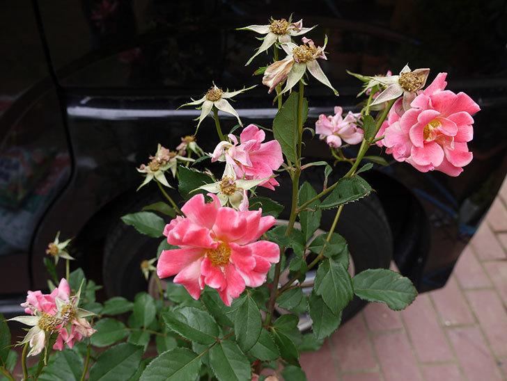 チョコフィオーレ(ミニバラ)の花の終りかけ開花株が1,500円だったので買って来た。2016年-3.jpg