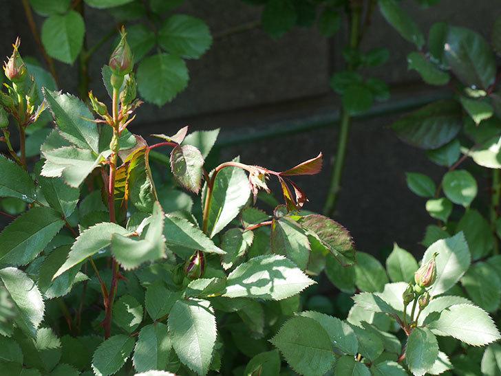 チョコフィオーレ(ミニバラ)の蕾付きの新枝が1本バラクキバチにやられた。2020年-2.jpg