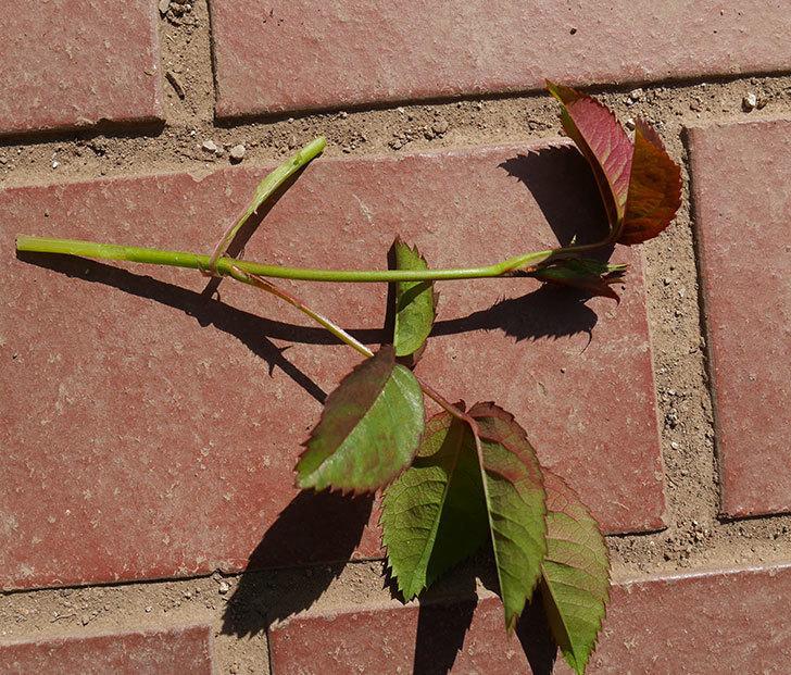 チョコフィオーレ(ミニバラ)の蕾付きの新枝が1本バラクキバチにやられた。2020年-3.jpg