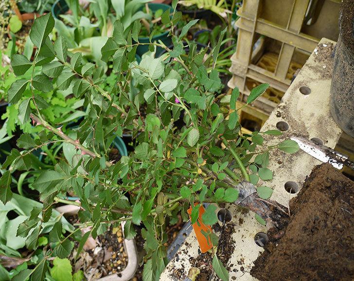 チョコフィオーレ(ミニバラ)の開花株の花がら切りをして鉢に植えた。2016年-3.jpg