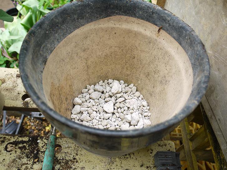 チョコフィオーレ(ミニバラ)の開花株の花がら切りをして鉢に植えた。2016年-8.jpg