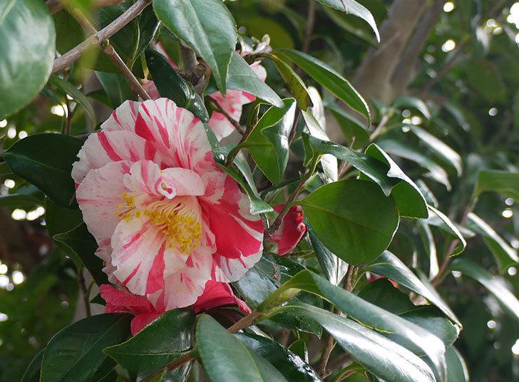 ツバキにまた白と赤が混じった花が咲いた。2016年-1.jpg