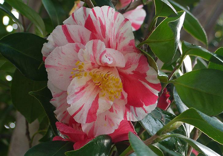 ツバキにまた白と赤が混じった花が咲いた。2016年-2.jpg