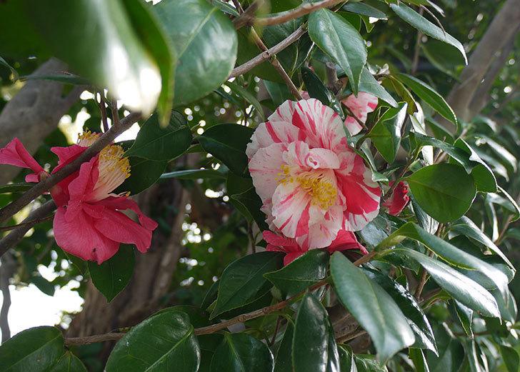 ツバキにまた白と赤が混じった花が咲いた。2016年-5.jpg