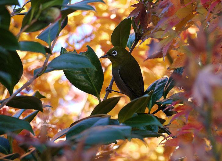 ツバキの花にメジロが蜜を吸いに来る1.jpg