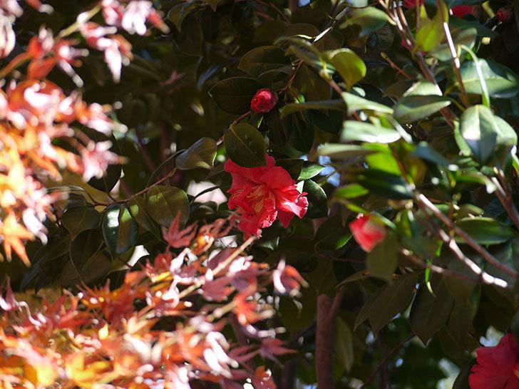 ツバキの花にメジロが蜜を吸いに来る4.jpg