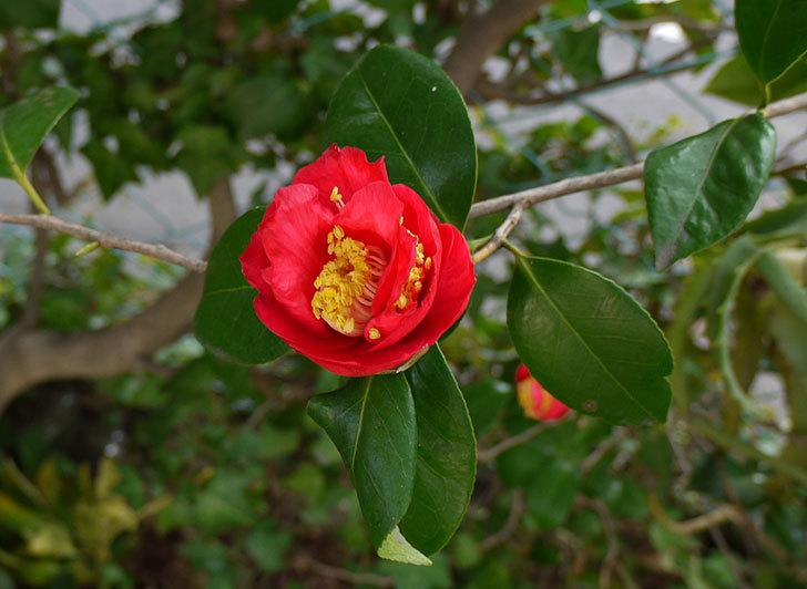 ツバキ(椿)の花が咲いた1.jpg