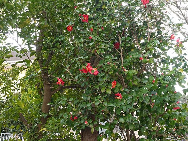 ツバキ(椿)の花が咲いた2.jpg