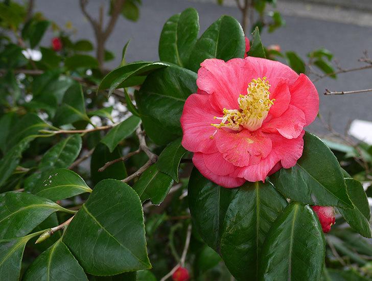 ツバキ(椿)の花が咲いた4.jpg