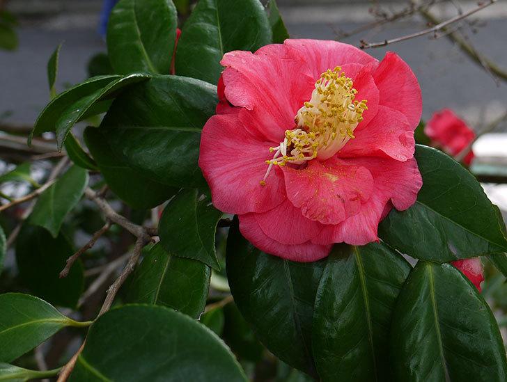 ツバキ(椿)の花が咲いた5.jpg