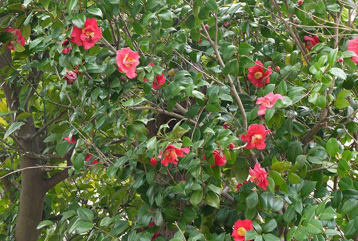 ツバキ(椿)の花が満開になった1.jpg