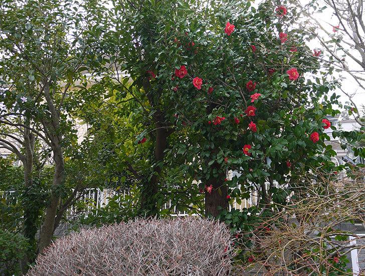 ツバキ(椿)の花が満開になった2.jpg