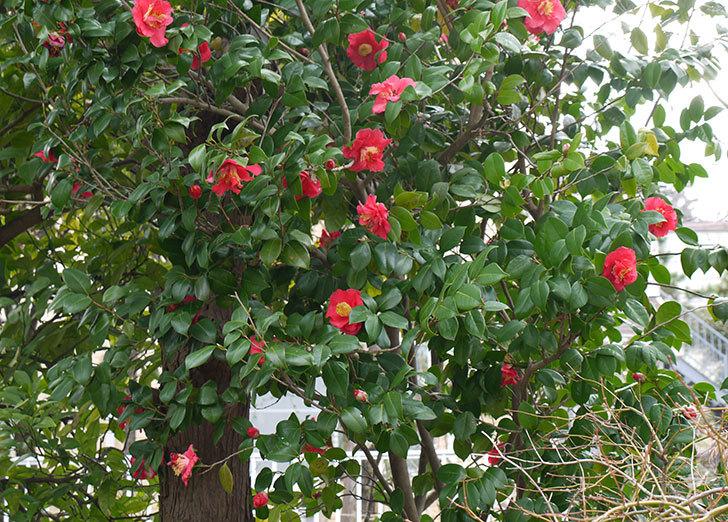 ツバキ(椿)の花が満開になった3.jpg