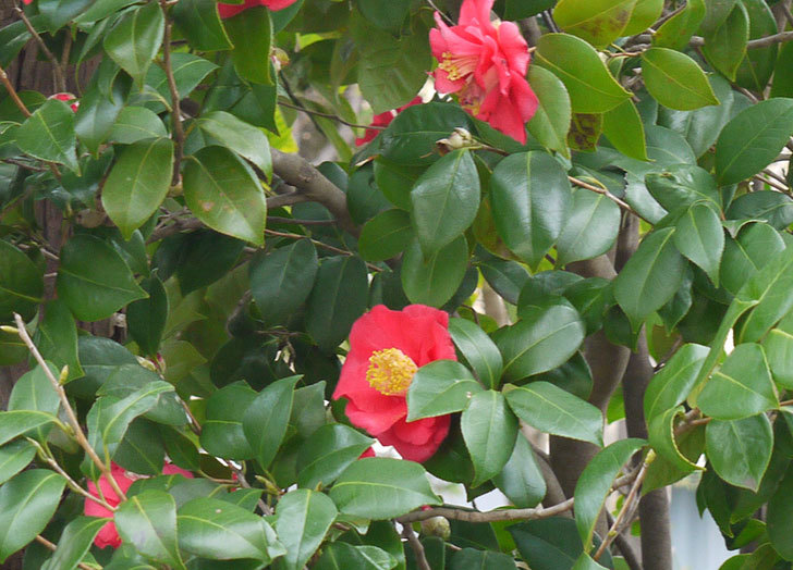 ツバキ(椿)の花が満開になった4.jpg