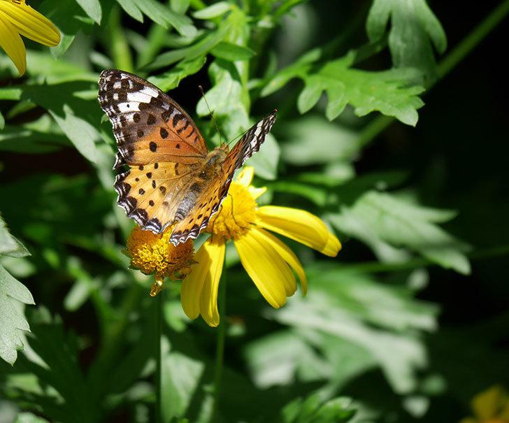 ツマグロヒョウモンがマーガレットコスモス(イエローエンジェル)の花に来た。2019年-4.jpg